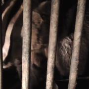 На базі в Яблуневі, де викрили плантацію коноплі, знайшли трьох ведмедів.ВІДЕО