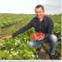Рай серед осені. Фермер із Прикарпаття вирощує полуницю, яка від перепаду температур стає ще солодшою. ВІДЕО