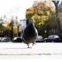 У Франківську рятувальники знімали голуба, який застряг на електросвітильнику