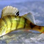 Для прикарпатських рибалок склали карту місць, де не можна ловити рибу