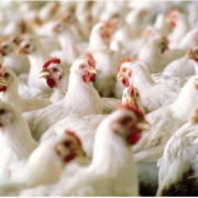 Виявили сальмонелу: прикарпатців попереджають про небезпечне борошно з птиці