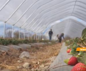 Рай серед осені: фермер із Прикарпаття зробив бізнес на полуниці (відео)
