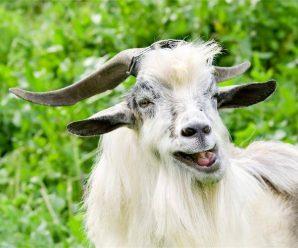 І сміх, і гріх: закарпатець відсидить рік за викрадення цапа на Франківщині