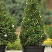 У Франківську УГКЦ на Різдвяні свята здає в оренду живі голубі ялинки