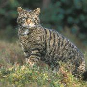 На Вінниччині вперше за 16 років побачили червонокнижного лісового кота. Відео