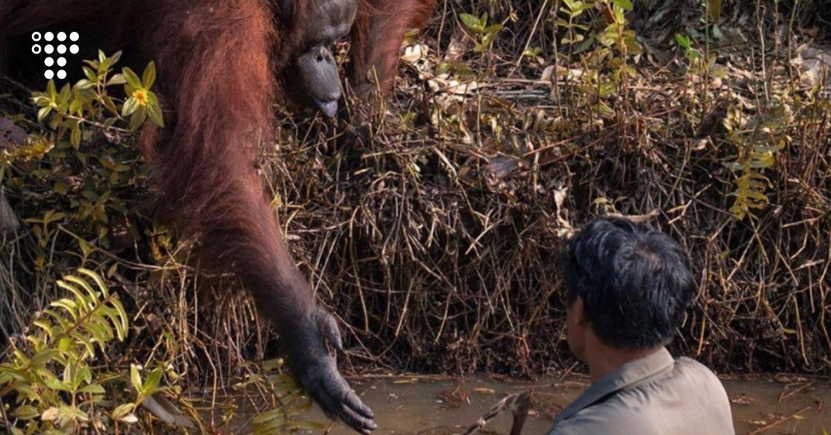Результат пошуку зображень за запитом В Індонезії чоловік загруз у річковій багнюці — орангутан простяг йому «руку допомоги»