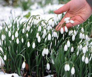 За квітку — 62 гривні штрафу. Стартувала акція «Першоцвіт-2020»