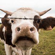 В Івано-Франківській ОТГ поблизу річки знайшли рештки корів