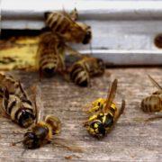 Чергові випадки отруєння бджіл зафіксували на Прикарпатті